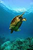 Male turtle diving down