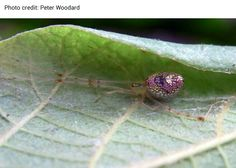 The Australian Sequined Spider