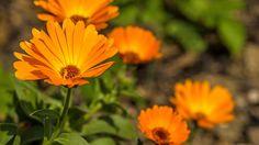 La flor caléndula o maravilla se cultiva en las regiones del Mediterráneo y en Anatolia o Asia Menor. Es una flor que requiere de climas templados y terrenos arenosos, arcillosos o calizos. Sus hojas se cierran cuando va a llover, motivo por el cual muchas personas la tienen en casa y la utilizan como indicador del tiempo.