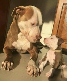 This special pitbull puppy will make you happy. Dogs are wonderful creatures. Pitbull Terrier, Amstaff Terrier, Cute Funny Animals, Cute Baby Animals, Beautiful Dogs, Animals Beautiful, Cute Puppies, Dogs And Puppies, Bulldog