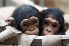 Cute baby chimps