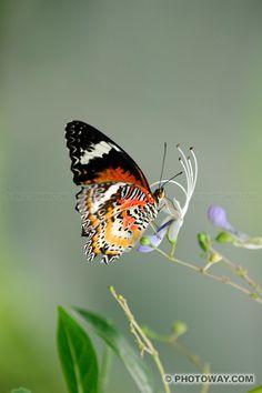 Photos de papillons, photo d'un papillon d'Asie Peacock Butterfly, Butterfly Pictures, Large Animals, Pet Birds, Moth, Nature, Butterflies, Lady Bugs, Spectacle