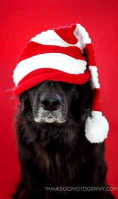 © Thank Dog Photography santa belle newfoundland © Thank Dog Photography Santa Belle Neufundland Dog Photos, Dog Pictures, Chien Goldendoodle, Pet Dogs, Dog Cat, Doggies, Photo Animaliere, Christmas Animals, Dog Christmas Pictures