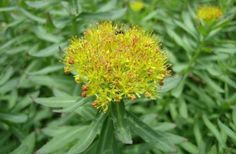 Ροδιόλα (Rhodiola Rosea): Ένα πολύ ισχυρό αντικαταθλιπτικό βότανο - Εναλλακτική Δράση Remedies, Healing, Herbs, Plants, Alternative, Home Remedies, Herb, Plant, Therapy