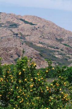 Lemon Trees, Provence, France