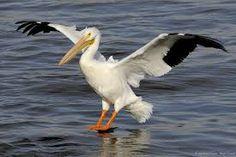 """Résultat de recherche d'images pour """"pelican"""""""