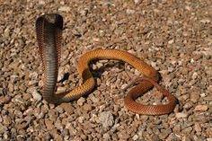 Egyptian Cobra (found throughout Africa)