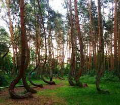 Crooked Forest (Poland) - The crooked forest contains around 400 odd-shaped pine trees. They are planted around 1930 and the reason for its spectacular curve is unknown. Some believe human intervention is the cause, while others believe a snow storm caused the weird shapes. Discover more unique travel inspiration on www.mapiac.com !