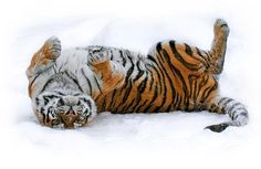 Awww, silly happy tiger in snow. Funny Tiger, Funny Cats, Funny Animals, Cute Animals, Artic Animals, Happy Animals, Wild Animals, Beautiful Cats, Animals Beautiful