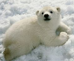 baby polar bear ughh can't I bring it home