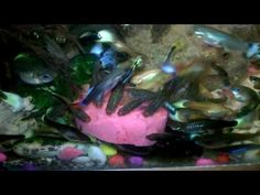 How I Feed Guppies fish All about FEEDING Chicken Meat#How #to #get #beautiful #collection o#f #guppies #fish #All #about #FEEDING  People also ask How many times a day do you feed guppy fish? Do guppy fish eat algae? Are guppies a tropical fish? What do guppies eat in the wild?   What kind of food do guppy fish eat? What do you feed baby guppies? How long does it take for a guppy to grow up? Are guppies a tropical fish?  guppy food homemade what do guppies eat besides fish food what do…