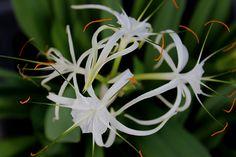 White lily (Lilium)