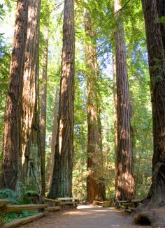 Redwood Trees, Coastal Sequioia, Muir Woods National Monument