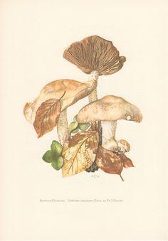 Impresión antiguo, Vintage litografia, 1963 Hebeloma seta, Hebeloma sinapizans, Hymenogastraceae hongos, hongos Agaricales