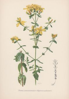 Botanical Print Hypericum perforatum by AntiquePrintGarden on Etsy