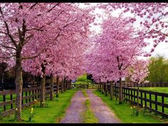 pink trees and lovely driveway