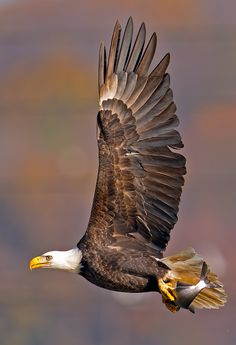 """American Bald Eagle"" by Brian Kushner"