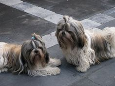 Perro Shih Tzu, Shih Tzu Dog, Shih Tzus, Shih Poo, Clowns, Dog Breeds, Angels, Sisters, Cute Animals