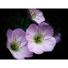 Evening Primrose Photography Print, Pink Flower Photography Print,... ($30) ❤ liked on Polyvore featuring home, home decor and wall art