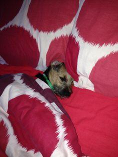 Bobby the border terrier