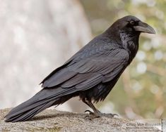 raven feathers - Google Search