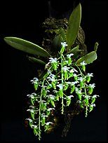 Dipteranthus pellucidus. A species orchid ( color)