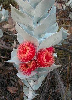 Eucalyptus macrocarpa - Western Australia - is-sit tiegħi Unusual Flowers, Rare Flowers, Amazing Flowers, Beautiful Flowers, Australian Native Garden, Australian Native Flowers, Australian Plants, Unusual Plants, Exotic Plants