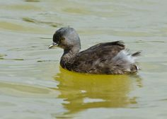 Least Grebe () Journeys With Judy: March 2012