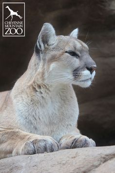 Did you know that the color of a mountain lion's coat varies depending on their geological location?  Mountain lions in southern parts of the U.S. have a light gray coat, and mountain lions in southern parts of South America are seen with various shades of reddish brown.  The standard light tan color we're familiar with in Colorado standard for mountain lions in the Andes and west coast mountains of the United States.