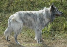 Dutch Shepherd in Long Hair Dutch Shepherd Dog, Belgian Shepherd, Horses And Dogs, Animals And Pets, Cute Animals, Pet Dogs, Dogs And Puppies, Dog Cat, Doggies
