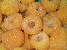100 Pre-stratified Raspberry SEEDS, Delicious Fruit Seeds ,Rare Yellow Fructus Rubi Rubus Idaeus Seeds , Plus Mysterious Gift Raspberry Plants, Golden Yellow Color, Mellow Yellow, Dorm Picture Walls, Magnolia, Fruit Seeds, Fruit Drinks, Delicious Fruit, Colors