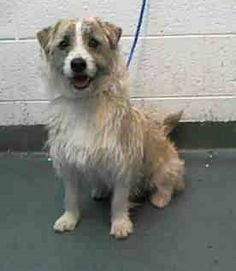 ROSCOE (A1675801) I am a male tricolor Glen of Imaal Terrier. The shelter staff think I am about 1 year old. I was found as a stray and I may be available for adoption on 02/02/2015. — hier: Miami Dade County Animal Services. https://www.facebook.com/urgentdogsofmiami/photos/pb.191859757515102.-2207520000.1422666576./918037928230611/?type=3&theater