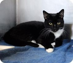 Westampton, NJ - Domestic Shorthair. Meet C-70440 Trixie, a kitten for adoption. http://www.adoptapet.com/pet/16002259-westampton-new-jersey-kitten