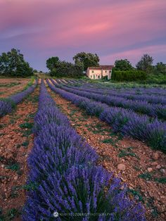 Lavender field with French country house. Provence, France.