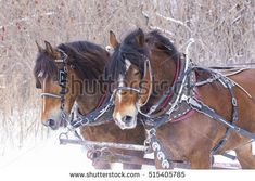 stock-photo-clydesdale-horses-drawn-sleigh-rides-in-winter-515405785.jpg (450×320)