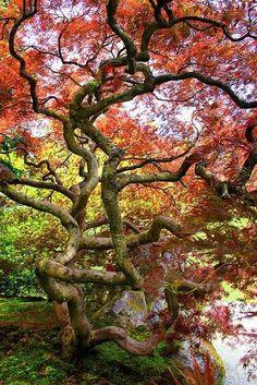 En la fotografía: Acer palmatum  Sociedad Argentina de Horticultura Desde 1936 al servicio de la comunidad
