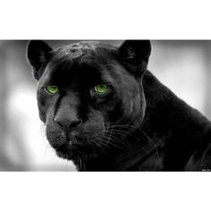 panthers selective coloring black panther 1920x1200... ❤ liked on Polyvore