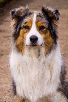 Australian Shepherd ~ Classic Look