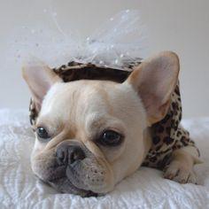 """""""I'm Bored, Amuse Me"""", Fabulous French Bulldog."""