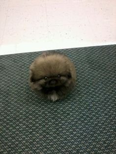 This is why I brought Rueben home. Pekingese and all