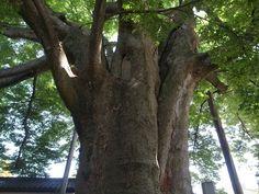 神明 けやき tree kanazawa ishikawa japan gr digital iv