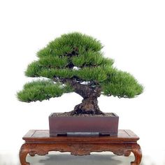 Image from http://i01.i.aliimg.com/wsphoto/v0/1612204197/Hot-Selling-50pcs-Pine-Tree-Seeds-Pinus-Thunbergii-Seeds-Bonsai-Seeds-Potted-Landscape-Home-Garden-Drop.jpg.