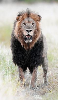 The Kings Stare - Prowling Predators