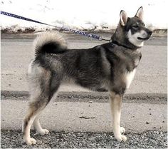 Jämthund - Swedish Elkhound