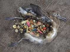 """""""Midway"""" by Chris Jordan. Shows the impacts on animals of plastic in the oceans. The photograph address's environmental issues regarding human waste and the horrific impact it has on our wildlife."""