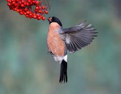 Parus Major, Camera Tattoos, Bullfinch, Hd Wallpaper, Wallpapers, Bird Pictures, Exotic Birds, Wild Birds, Natural World