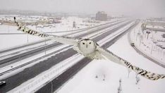 Snowy Owl in Montreal