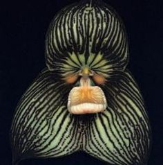 Google Image Result for http://andyswebtools.com/images/d/1754/dracula_orchid-th.jpg
