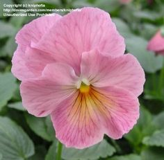 PlantFiles Pictures: Viola, Garden Pansy, Pansy 'Imperial Antique Shades' (Viola x wittrockiana) by kniphofia Types Of Flowers, Pink Flowers, Beautiful Flowers, Exotic Flowers, Yellow Roses, Pink Roses, Johnny Jump Up, Blossom Garden, Flower Pictures