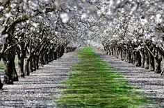 Rows of California almond orchards in bloom with pollinated petals on the ground.